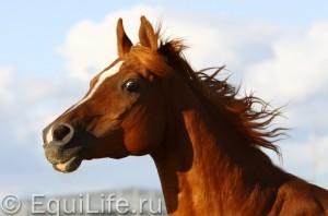 Быть Equus: зрение, слух, поведение - фото 5июня-022_wm-300x198, главная Здоровье лошади Поведение лошади , конный журнал EquiLIfe