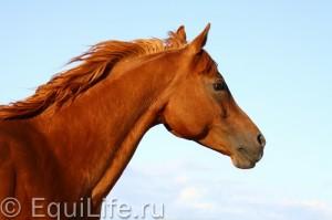 Быть Equus: зрение, слух, поведение - фото 5июня-053_wm-300x199, главная Здоровье лошади Поведение лошади , конный журнал EquiLIfe