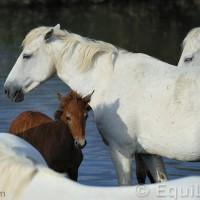 Лошади Камарга - фото 13_wm-200x200, главная Поведение лошади Разное Фото , конный журнал EquiLIfe