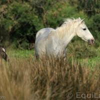 Лошади Камарга - фото 28_wm-200x200, главная Поведение лошади Разное Фото , конный журнал EquiLIfe