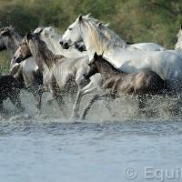 Лошади Камарга - фото 50_wm-200x200, главная Поведение лошади Разное Фото , конный журнал EquiLIfe