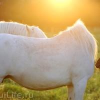 Лошади Камарга - фото 57_wm-200x200, главная Поведение лошади Разное Фото , конный журнал EquiLIfe