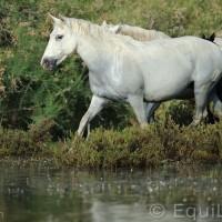 Лошади Камарга - фото DSC_8967_wm-200x200, главная Поведение лошади Разное Фото , конный журнал EquiLIfe