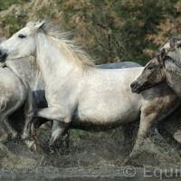 Лошади Камарга - фото DSC_8977_wm-200x200, главная Поведение лошади Разное Фото , конный журнал EquiLIfe