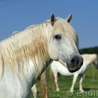 Лошади Камарга - фото PSV_4317_wm-200x200, главная Поведение лошади Разное Фото , конный журнал EquiLIfe