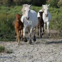 Лошади Камарга - фото PSV_4541_wm-200x200, главная Поведение лошади Разное Фото , конный журнал EquiLIfe