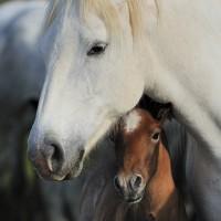 Лошади Камарга - фото PSV_4622_wm-200x200, главная Поведение лошади Разное Фото , конный журнал EquiLIfe