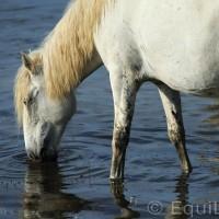 Лошади Камарга - фото PSV_4725_wm-200x200, главная Поведение лошади Разное Фото , конный журнал EquiLIfe