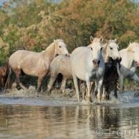 Лошади Камарга - фото PSV_5176_wm-200x200, главная Поведение лошади Разное Фото , конный журнал EquiLIfe