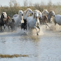 Лошади Камарга - фото PSV_5525_wm-200x200, главная Поведение лошади Разное Фото , конный журнал EquiLIfe