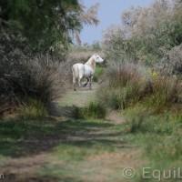 Лошади Камарга - фото PSV_8405_wm-200x200, главная Поведение лошади Разное Фото , конный журнал EquiLIfe