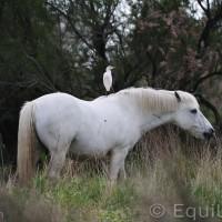 Лошади Камарга - фото PSV_8487_wm-200x200, главная Поведение лошади Разное Фото , конный журнал EquiLIfe