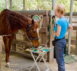 Лукас - самый умный конь в мире - фото 554622_10150829033806727_341203599_n_wm-300x275, главная Конные истории Разное , конный журнал EquiLIfe