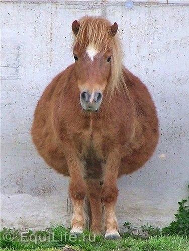 Ожирение: проблемы «сферических коней» - фото OnmFY1PS7gs, главная Здоровье лошади Рацион , конный журнал EquiLIfe