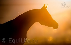 Потеря слуха у пожилых лошадей - фото _wm-300x191, главная Здоровье лошади Поведение лошади Содержание лошади Тренинг , конный журнал EquiLIfe