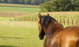 Боль в спине и заболевания позвоночника лошадей Ч.1  - фото stock_bay_horse_back_view_standing_and_looking_by_nexu4-d5fvz1m11_wm121-300x180, главная Здоровье лошади Поведение лошади Тренинг , конный журнал EquiLIfe