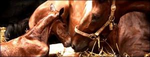 """Цикл вебинаров """"Репродукция лошадей"""" - фото A9MBhNxHu9Q1-300x114, Новости , конный журнал EquiLIfe"""