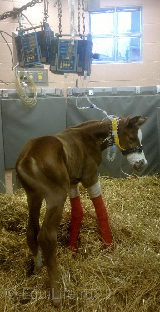 Новорожденный жеребенок. Что нужно знать? - фото 123-копия_wm, главная Здоровье лошади Разное Содержание лошади , конный журнал EquiLIfe