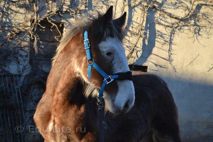 """""""Повелительница великанов"""" Интервью с частным коневладельцем Лилией Вайс.  - фото lvTRW6tX6RU, главная Интервью Конюшня Разное Содержание лошади , конный журнал EquiLIfe"""