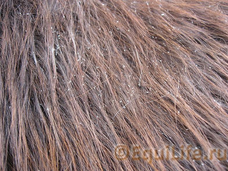 «Пупырки, шелушки и крапинки»-самые загадочные диагнозы - фото 49974785-1_wm, главная Здоровье лошади , конный журнал EquiLIfe