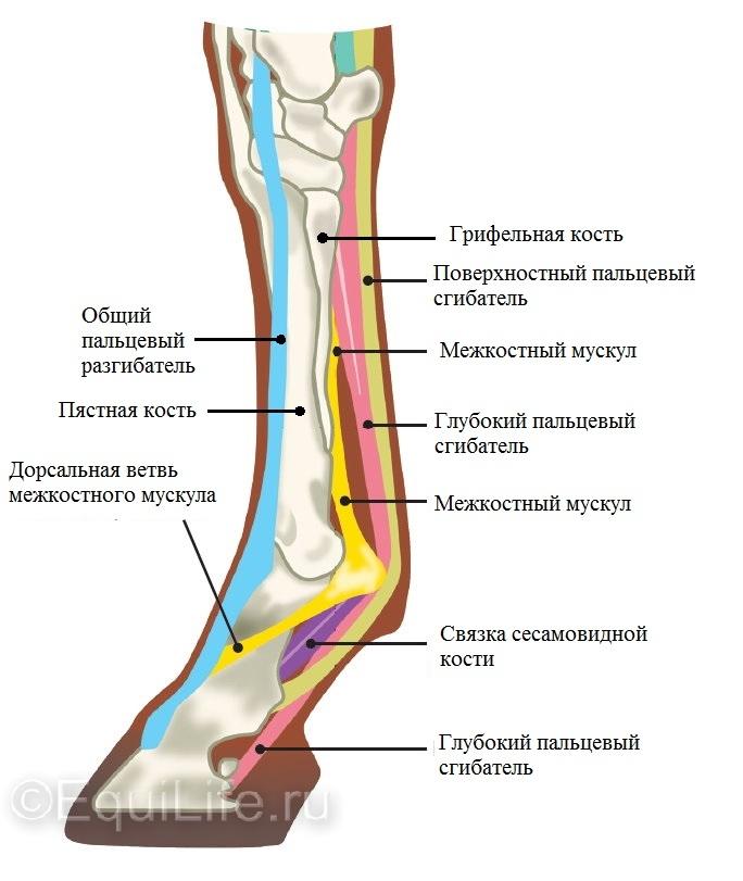 «Доспехи» для лошадиных ног:  ногавки, кобуры и бинты - фото Diagram-EDIT_wm, главная Здоровье лошади Копыта Разное Содержание лошади Тренинг , конный журнал EquiLIfe