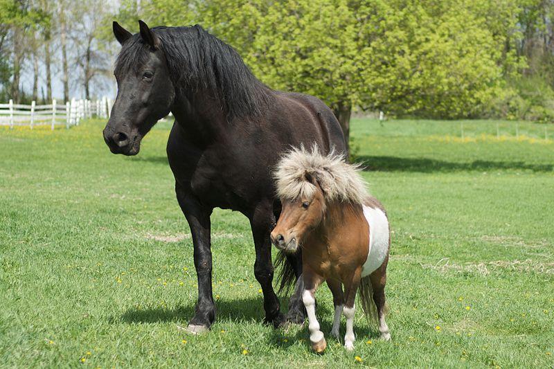Скороспелость и позднеспелость у лошадей - правда или миф? - фото Big_horse_and_little_horse, главная Здоровье лошади Содержание лошади Тренинг , конный журнал EquiLIfe