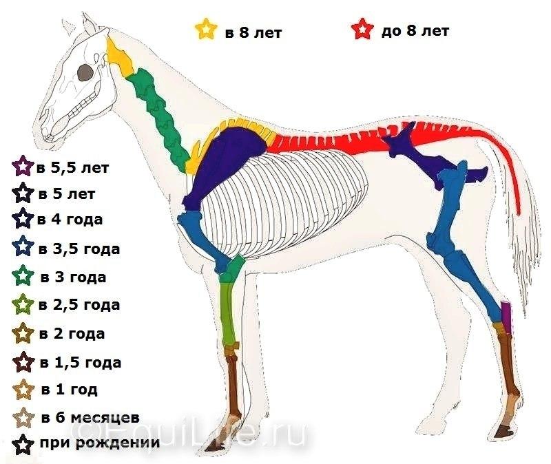 Сроки развития скелета у лошадей - фото X7mft4BnwS4, главная Здоровье лошади Разное , конный журнал EquiLIfe