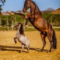 Антуан Бассале (Antoine Bassaler) - фото 1922201_265338173624408_526177919_n-200x200, главная Разное Фото , конный журнал EquiLIfe