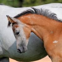 Юлия Удовенко. Выставка конных портретов - фото 10967992_1596700097208836_1458490827_n_wm-200x200, главная Разное События Фото , конный журнал EquiLIfe