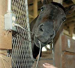 Основные требования к безопасности и микроклимату на конюшне - фото 90aee626153cd32c4dd439a8c3182cda, главная Здоровье лошади Конюшня Содержание лошади , конный журнал EquiLIfe