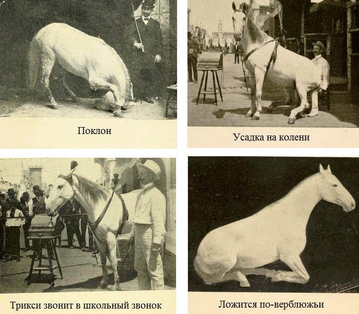 История Принцессы Трикси - королевы всех учёных лошадей - фото 12, главная Разное Тренинг , конный журнал EquiLIfe