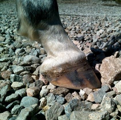 Натуральная расчистка: основные принципы. - фото IMG_20140825_113210_cr, главная Копыта Разное , конный журнал EquiLIfe