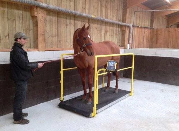 Как рассчитать вес лошади? - фото horse-weighing-platform, главная Здоровье лошади Разное , конный журнал EquiLIfe
