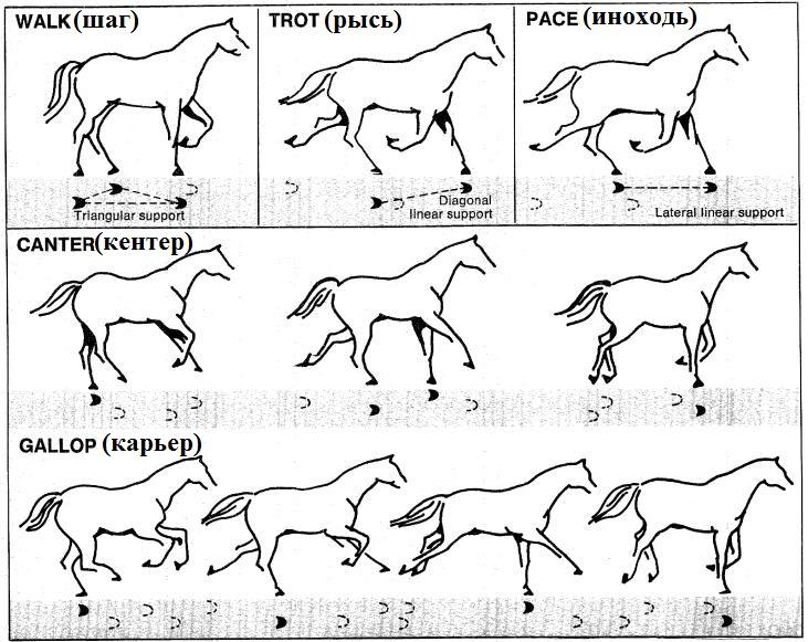 Аллюры лошадей - фото gait-diagram, главная Интересное о лошади Разное , конный журнал EquiLIfe