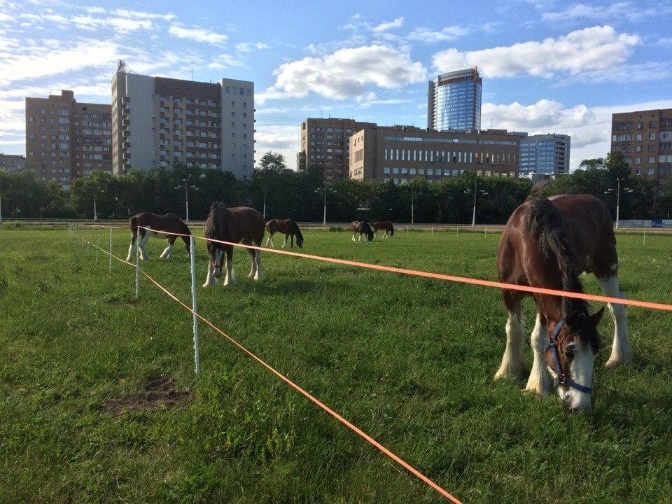 Легендарные клейдесдали «Будвайзера»! - фото 2Jve2YnAm4E, главная Разное События Фото , конный журнал EquiLIfe
