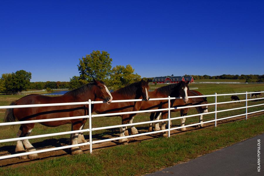 Легендарные клейдесдали «Будвайзера»! - фото 7024088207_e288a06b11_b, главная Разное События Фото , конный журнал EquiLIfe