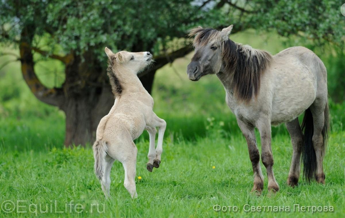 Коник польский. Полудикие табуны лошадей - фото 11_wm_wm, главная Пастбище Поведение лошади Содержание лошади , конный журнал EquiLIfe