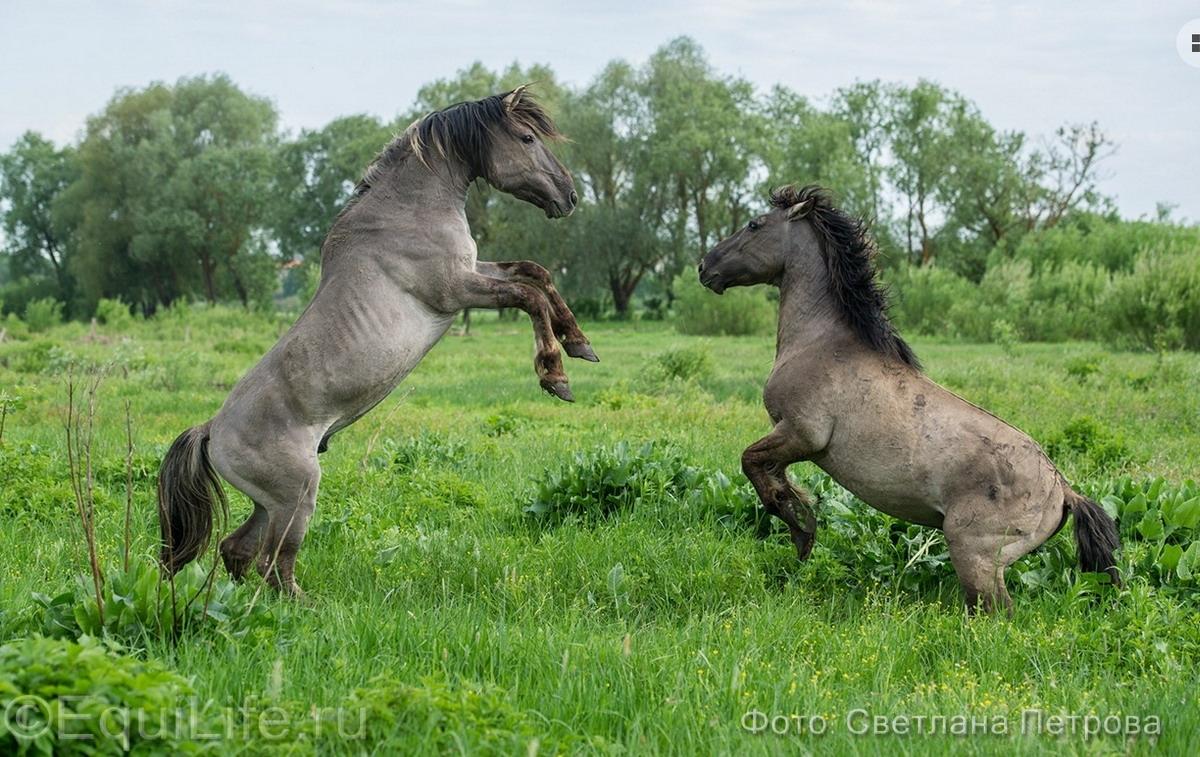 Коник польский. Полудикие табуны лошадей - фото 16_wm_wm, главная Пастбище Поведение лошади Содержание лошади , конный журнал EquiLIfe
