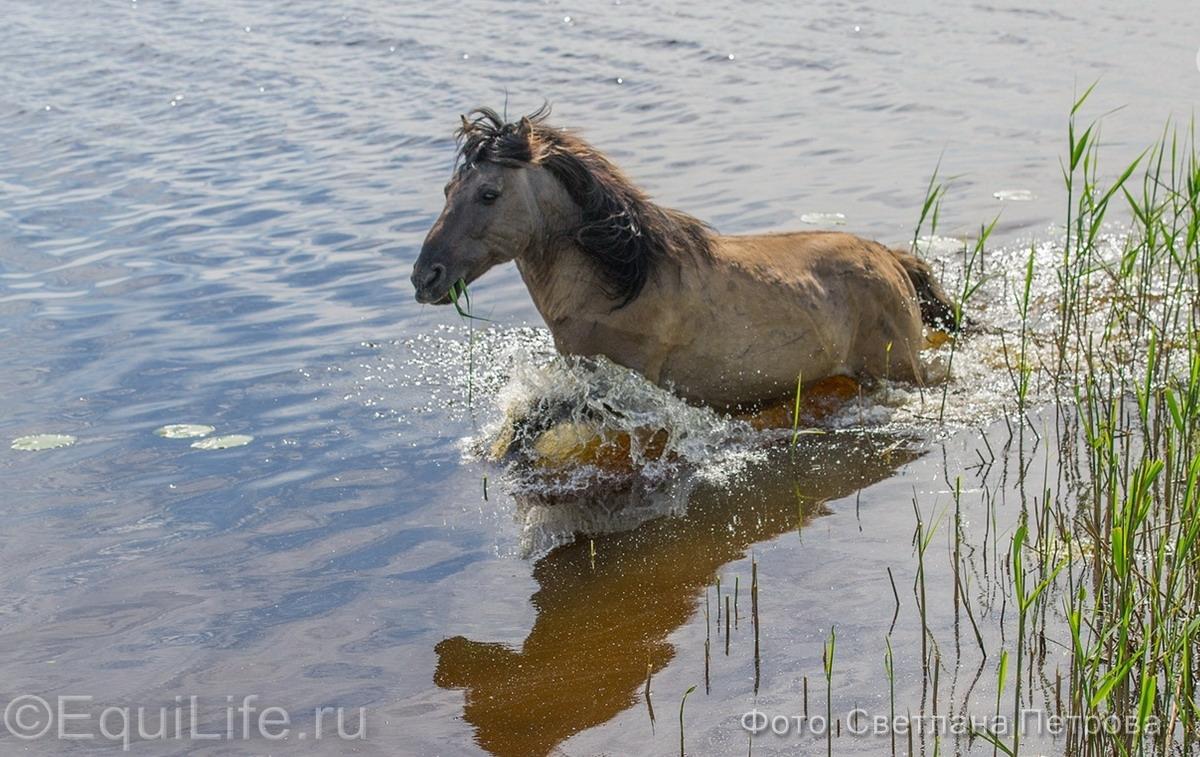 Коник польский. Полудикие табуны лошадей - фото 17_wm_wm, главная Пастбище Поведение лошади Содержание лошади , конный журнал EquiLIfe