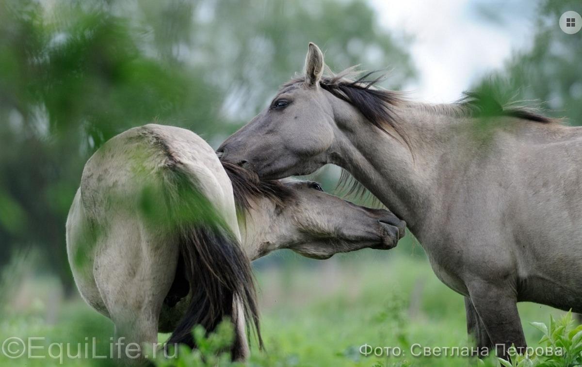 Коник польский. Полудикие табуны лошадей - фото 18_wm_wm, главная Пастбище Поведение лошади Содержание лошади , конный журнал EquiLIfe