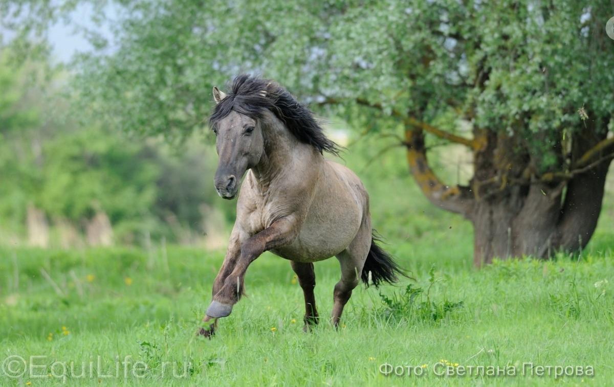Коник польский. Полудикие табуны лошадей - фото 19_wm_wm, главная Пастбище Поведение лошади Содержание лошади , конный журнал EquiLIfe