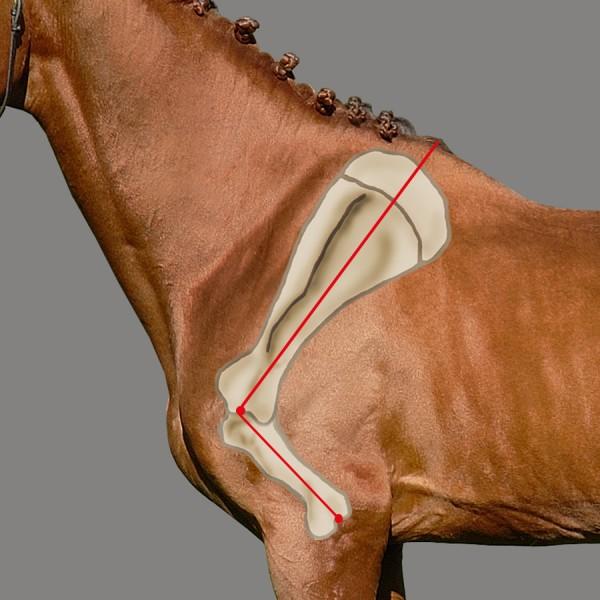 Плечелопаточное сочленение лошади и его роль в движении - фото 1517_600, главная Здоровье лошади Тренинг , конный журнал EquiLIfe