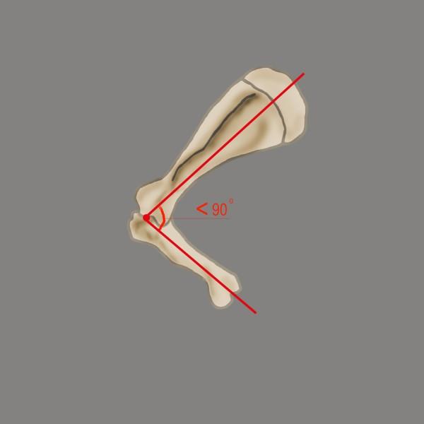 Плечелопаточное сочленение лошади и его роль в движении - фото 1879_600, главная Здоровье лошади Тренинг , конный журнал EquiLIfe