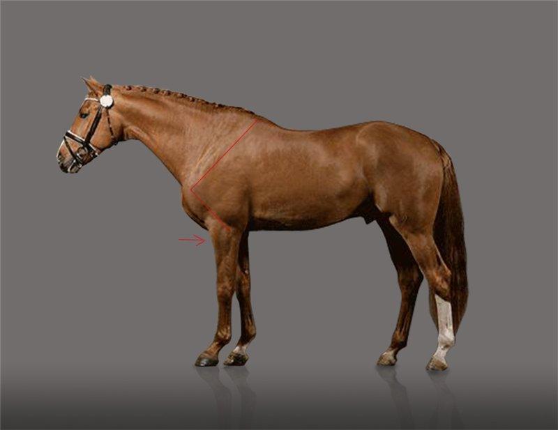 Есть ли шансы у российского спортивного коневодства? Или все об экстерьере лошади. - фото 5, главная Разное Тренинг , конный журнал EquiLIfe