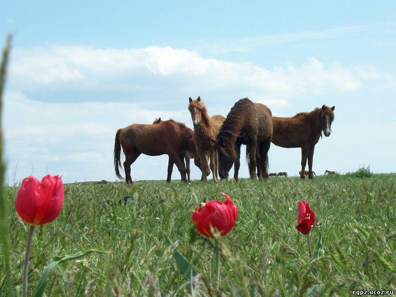 Дикие мустанги в Ростовской области - фото 22, Новости , конный журнал EquiLIfe