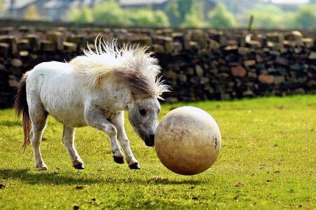 Лошадь и мяч - фото C_71_article_1420636_image_list_image_list_item_0_image1, главная Разное Тренинг , конный журнал EquiLIfe