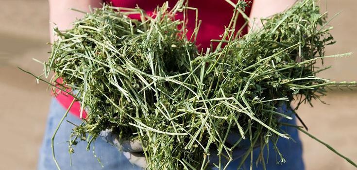Опасная люцерна - фото alfalfa-735-350, главная Рацион , конный журнал EquiLIfe