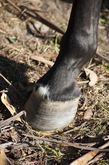 Проверка пульса в ногах лошади - фото horse_hoof.preview, главная Здоровье лошади Копыта , конный журнал EquiLIfe