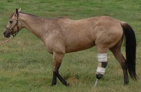 Протез для лошади. Уникальный случай. - фото 1-39, главная Здоровье лошади Конные истории , конный журнал EquiLIfe
