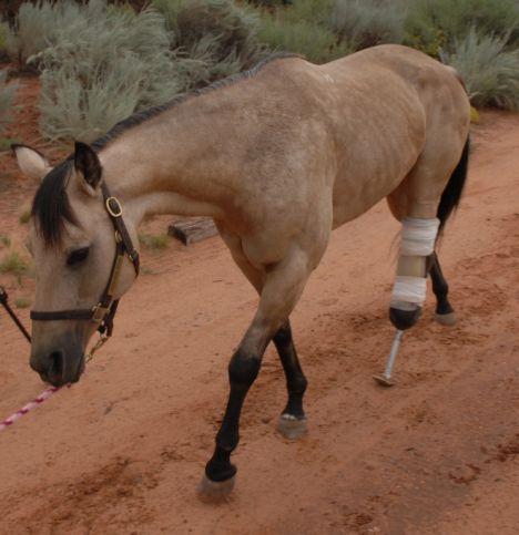 Протез для лошади. Уникальный случай. - фото 2-29, главная Здоровье лошади Конные истории , конный журнал EquiLIfe